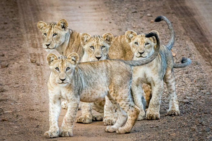 curious-lion-cubs