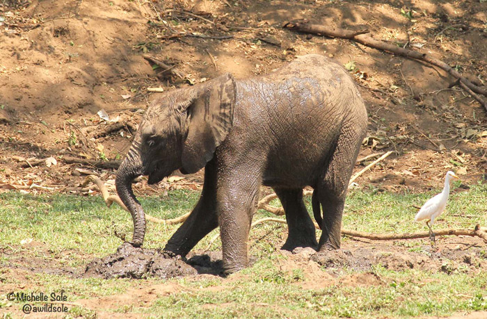 elephant-calf-in-mud
