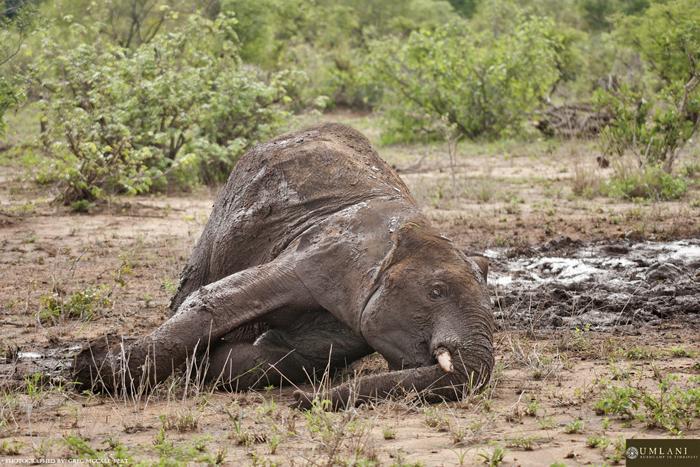 elephant-enjoying-mud
