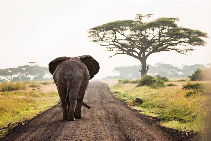 An evocative image off an elephant in Amboseli National Park, Kenya, entered into the competition by Kathleen Ricker