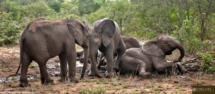 elephants-play-in-the-mud
