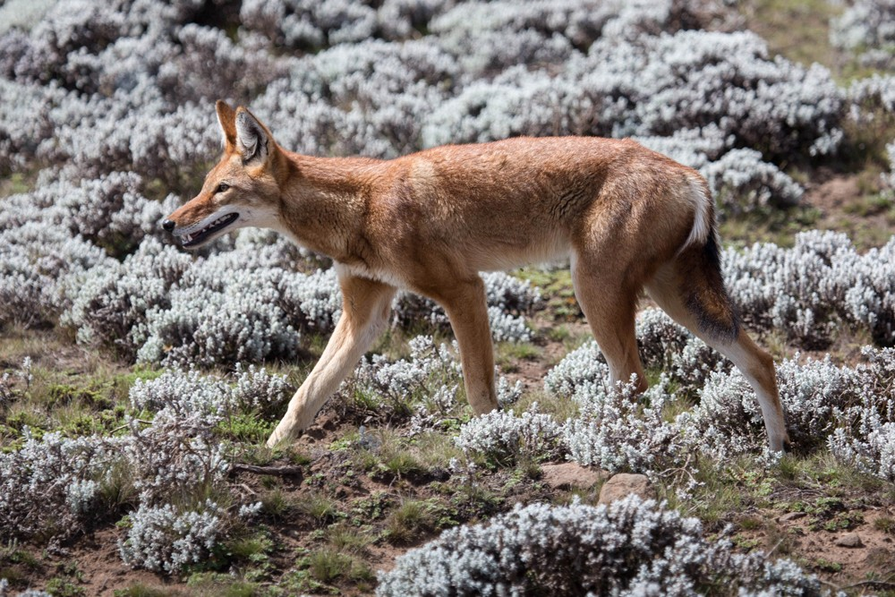 A lone Ethiopian wolf ©Diane Bateman