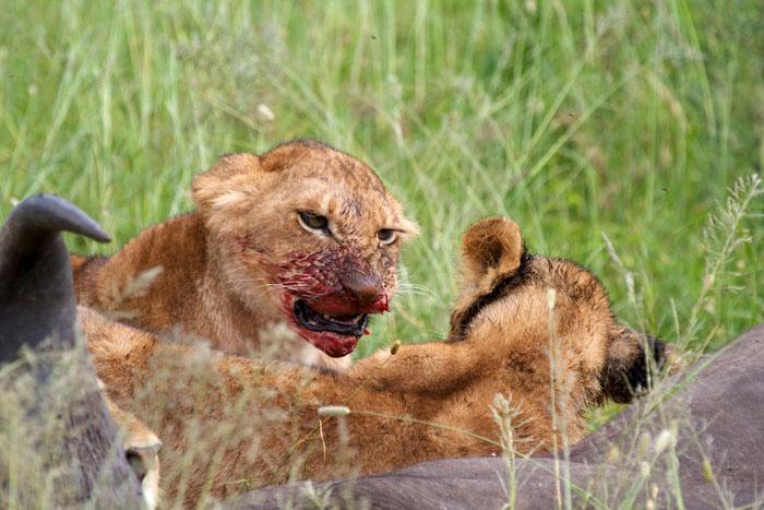 feasting-lion-cub