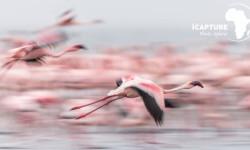 flamingo-bird-photography