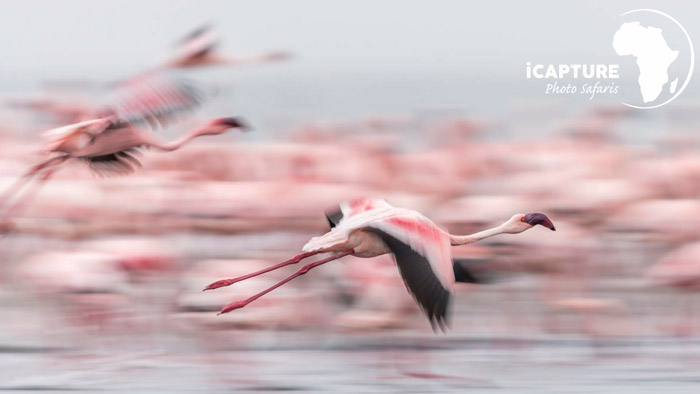 flamingo-bird-photography