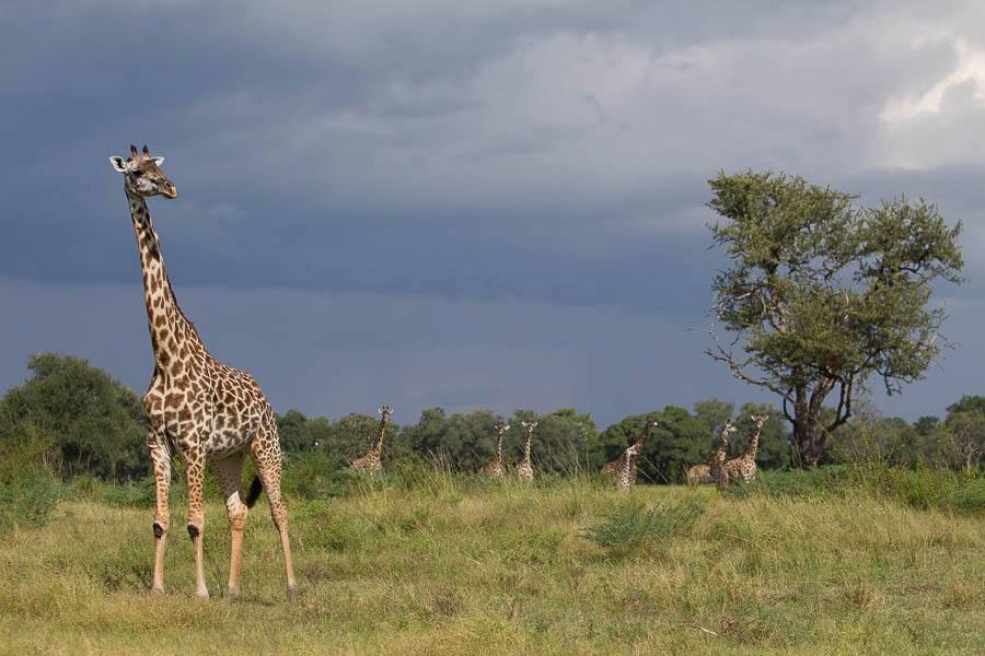 giraffe-south-luangwa