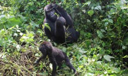 gorillas-bwindi