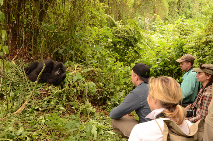 gorillas-of-africa