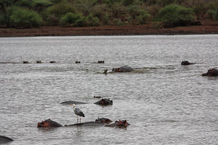 hippo-saves-impala-kruger