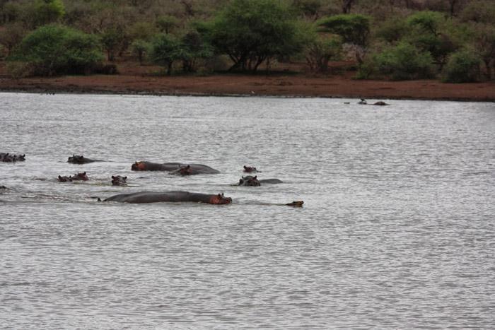hippo-saves-impala-sunset-dam-kruger