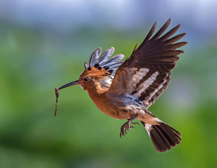 Crisp and clear focus on this African hoopoe in flight in Roodepoort, Gauteng by Ernest Porter