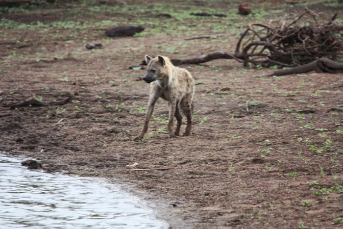 hyena-sunset-dam-kruger