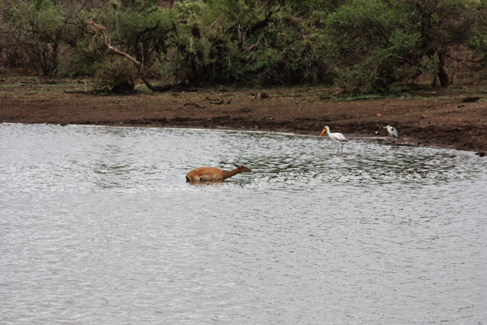 impala-dam-kruger