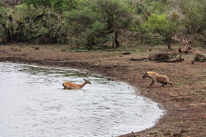 impala-and-hyena-sunset-dam-kruger
