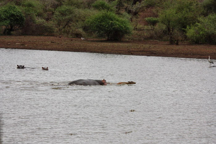 impala-saved-by-hippo-sunset-dam-kruger