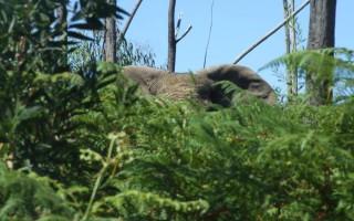 knysna-elephant