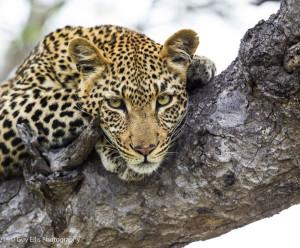 leopard-high-up