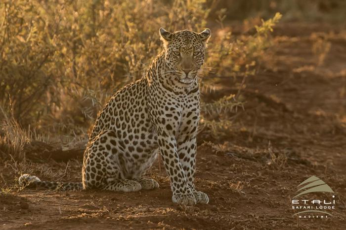 leopard-in-sunrays