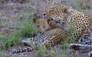 leopard-mother-grooming-cub