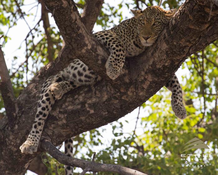 leopard-relaxing-in-tree