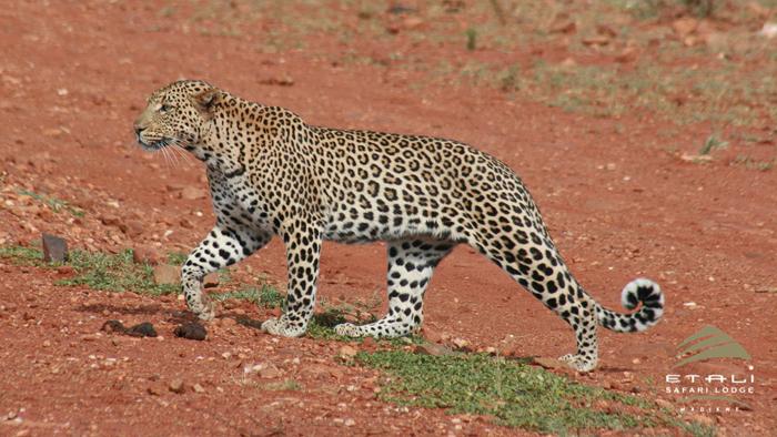 leopard-taking-a-stroll