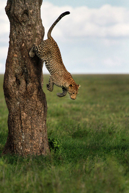 A perfectly timed action shot by Nir Geiger as a leopard jumps off a tree in the Serengeti