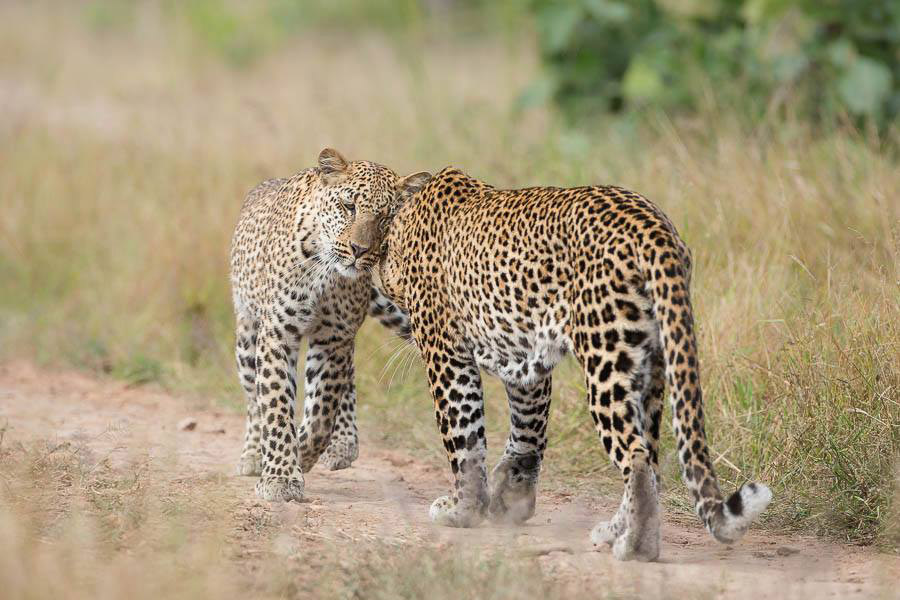 leopards-south-luangwa
