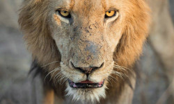Its all in the eyes in this image by Sean Cresswell featuring the gaze of a king in the Sabi Sand, South Africa