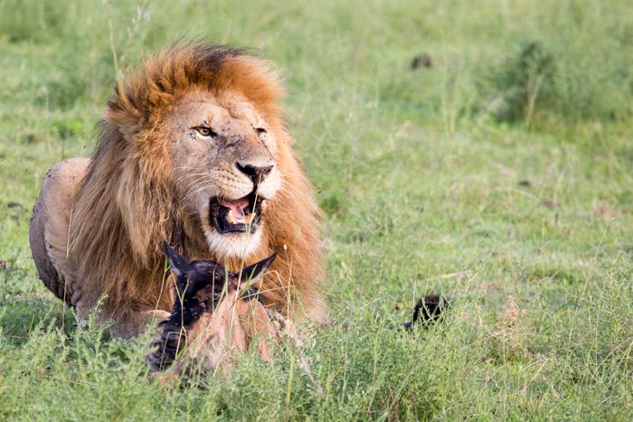 lion-and-wildebeest