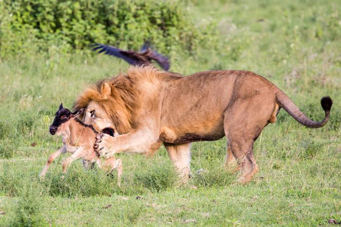 lion-bites-into-wildebeest