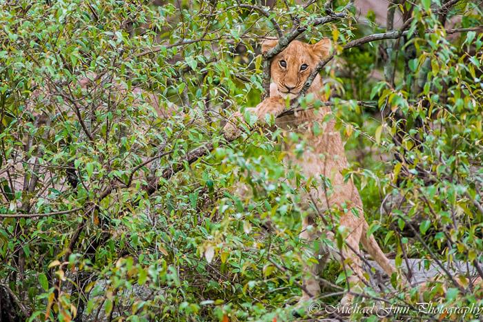 lion-cub-maasai-mara-kenya