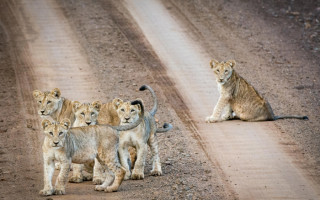 lion-cubs-look-on
