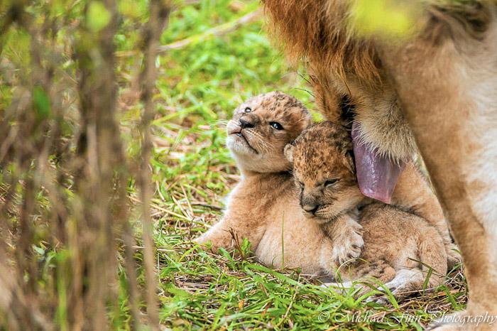 lion-cubs-maasai-mara