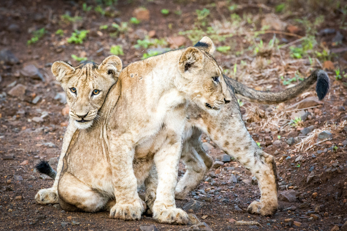 lion-cubs-snuggling