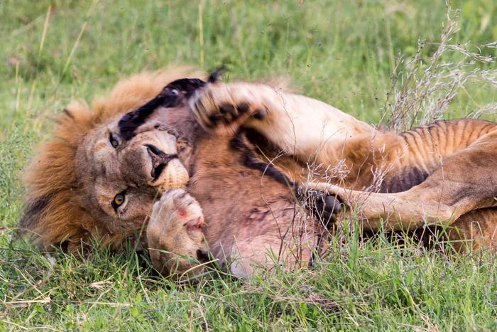 lion-holds-wildebeest-close