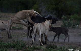 lion-jumps-on-buffalo-manyeleti-game-reserve
