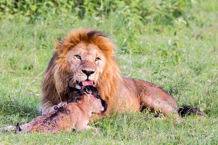 lion-licks-wildebeest-calf