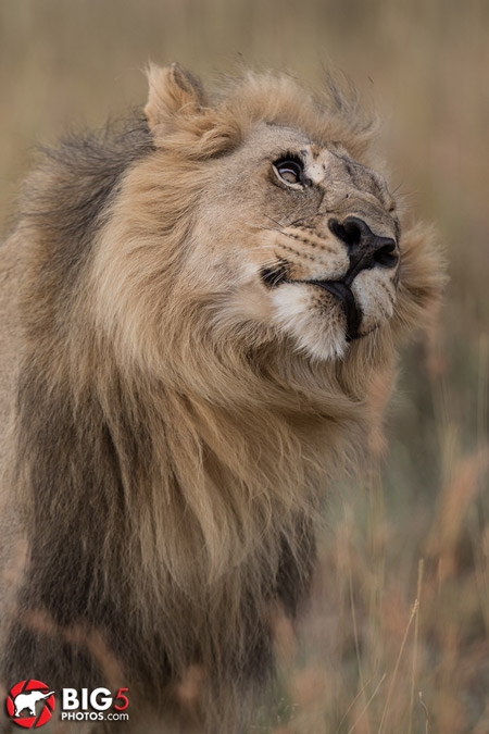 lion-photos-safari