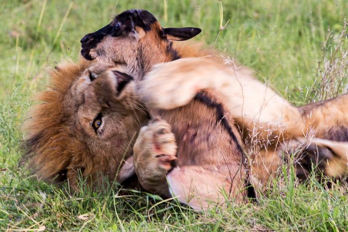 lion-rolls-with-wildebeest
