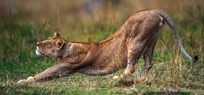 lion-stretching-maasai-mara
