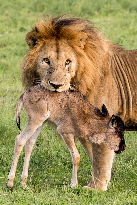 lion-with-wildebeest-calf-in-mouth