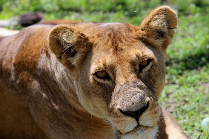 lioness-up-close