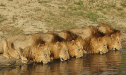 lions-at-water-new