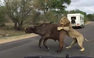 lions-attack-buffalo