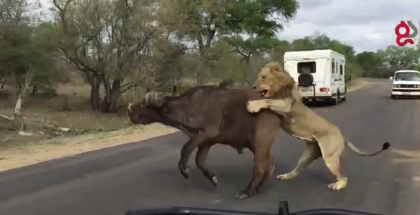Video Lions Attack Buffalo In Front Of Tourists Africa