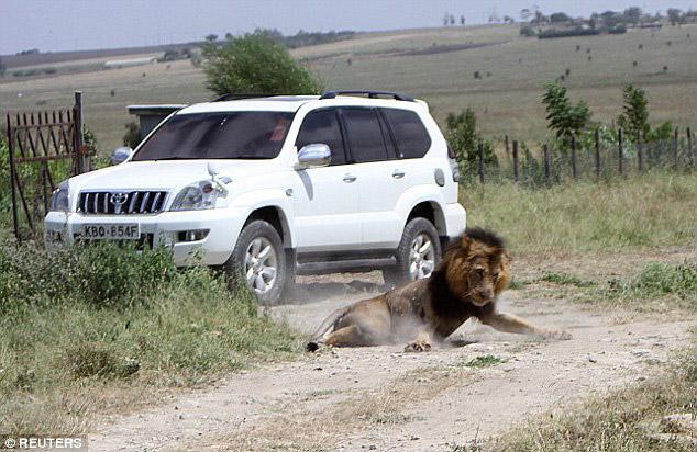 mohawk-lion-killed