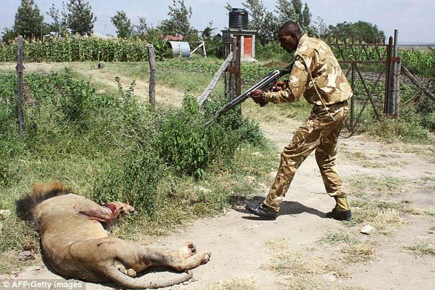 mohawk-lion-shot-in-kenya