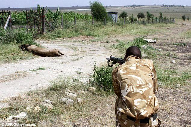 mohawk-lion-shot-kenya