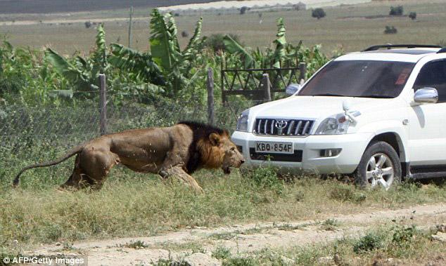 mohawk-lion