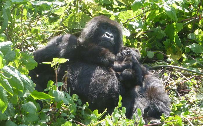 mother-and-baby-gorilla